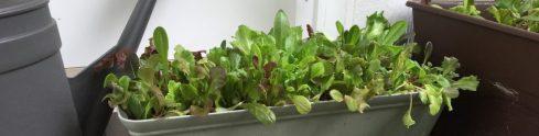 Lettuce I started indoors.